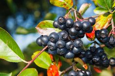 Learn about aronia berries, how aronia berries are grown and the health benefits of aronia berries. Aronia berries or chokeberries are packed with vitamins. Power Smoothie, Ginger Smoothie, Aronia Berry Recipes, Alpine Strawberries, Strawberry Plants, Perfect Plants, Plant Sale, Edible Garden, Health