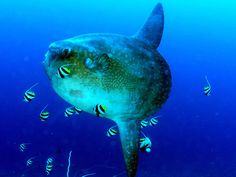 Weird Travel Wednesday: The Mola Mola |