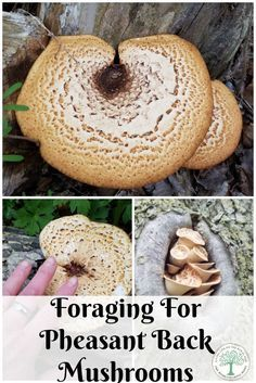 Edible Gardening When foraging for mushrooms in the spring, look for these meaty, flavorful pheasant back mushrooms! The Homesteading Hippy via - When foraging for mushrooms in the spring, look for these meaty, flavorful pheasant back mushrooms! Edible Wild Mushrooms, Growing Mushrooms, Stuffed Mushrooms, Edible Wild Plants, Mushroom Hunting, Mushroom Fungi, Wild Edibles, Medicinal Herbs, Pheasant