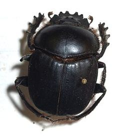 Scarabaeus.sacer. Escaravelho-sagrado, proveniente da região do Mediterrâneo.