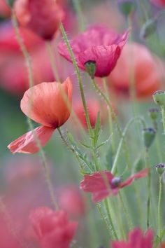 poppies...simple and beautiful. they remind me of my mother's garden when i was a child.