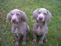 weimaraner dogs | 800 x 593 90 kb jpeg weimaraner dog breed information