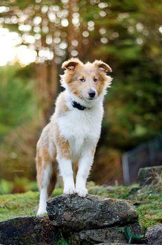 Rough Collie Dog Puppy Dogs Puppies Collie Puppies, Collie Dog, Dogs And Puppies, I Love Dogs, Puppy Love, Scotch Collie, Rough Collie, Horses And Dogs, Shetland Sheepdog