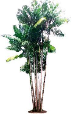 Muda de Açaí Anão - 1 unidade - Euterpe oleracea variedade açaí-anão  - Plantei