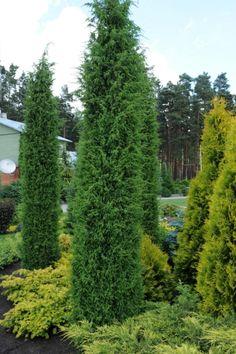 "Juniperus communis 'Meyer' - ""Google"" paieška"