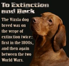 Extinction fact about the Vizsla dog