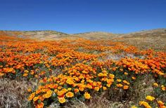 Color-saturated wildflowers are the harbingers of spring. Here are 10 recommendations for where to see them in all their glory.