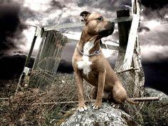 american staffordshire terrier | American Staffordshire Terrier - Razas perros | Mascotas.