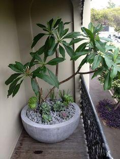 Image result for front gate frangipani