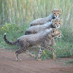 Cheetah cubs taking a stroll Cheetah Cubs, Leopard Cub, Cheetah Animal, Nature Animals, Baby Animals, Cute Animals, Beautiful Cats, Animals Beautiful, Pumas