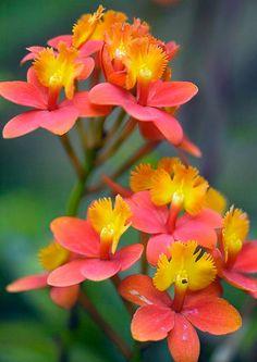 Orchid (epidendrum sp.)