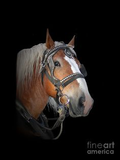 Belgian, draft horse breed from the Brabant region of modern Belgium. Used as working animals, but have also become popular as show horses, and pleasure riding horses.
