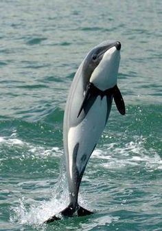 Hector's Dolphin Endangered http://worldwildlife.org/species/hector-s-dolphin