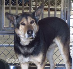 A4799915 I am a 2 yr old male black/brown German Shepherd mix. I came to the shelter as a stray on Feb 11. available 2/15/15 Baldwin Park shelter https://www.facebook.com/photo.php?fbid=923656114312893&set=pb.100000055391837.-2207520000.1424183311.&type=3&theater
