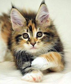 Maine Coon...sweet kitty!