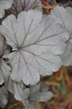Heuchera Stainless Steel Zone Plant Half Sun To Full Shade