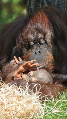 "Mother Orangutan with her baby.             (""A Mother's love."")"