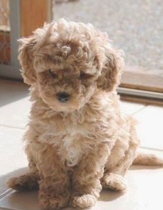 Top 5 Dog breeds that don't Shed... Oh my gosh. So cute!!