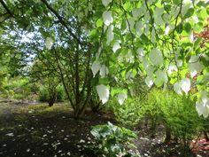The ghost tree in Edinburgh Botanic Gardens image take May 2014
