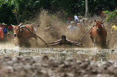 The Sumatran sport of Pacu Jawi or 'Mud Cow Racing' is held at the end of each rice harvesting season by the Minangkabau people in West Sumatra, Indonesia.