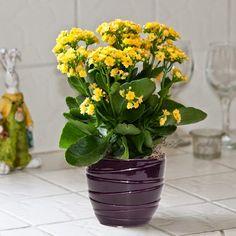 Mevsimlik Çiçek Bakımı: KALANCHOE (Blossfeldiana ve  Calandiva) BAKIMI    gülser