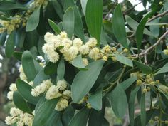 Acacia melanoxylon (Australian Blackwood) is a very quick-growing tree up to 40 feet (12 m) tall, with a 20 feet (6 m) wide and in...