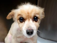 SUPER URGENT Manhattan Center NOODLES – A1037345 MALE, TAN, POODLE TOY MIX, 12 yrs OWNER SUR – EVALUATE, NO HOLD Reason MOVE2PRIVA Intake condition EXAM REQ Intake Date 05/23/2015