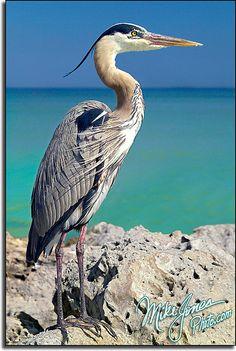 Blue Heron - ©MikeJonesPhoto - www.flickr.com/photos/mikejonesphoto/302368097/in/set-72157594402051077#