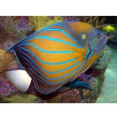Annularis angelfish ADULT (Pomacanthus annularis)