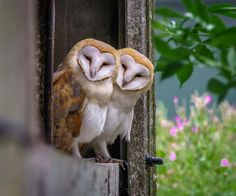 A pair of Barn Owls (Tyto alba) relax at the door of a barn on the Isle of Sheppey in Kent, UK. Photo by Phil Haynes.