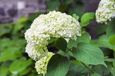 10 Popular Types of Hydrangeas - Growing Tips & Photos | Green and Vibrant Garden Bar, Hydrangea, Green Hydrangea, Types Of Hydrangeas, Panicle Hydrangea, Showy Flowers, Lawn And Garden, Outdoor Plants, Japan Flower