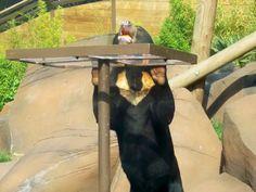 Colchester zoo sun bears Colchester Zoo, Bears, Sun, Animals, Animales, Animaux, Animal, Animais, Bear