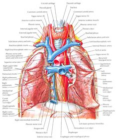 Lung Anatomy Diagram | ... : Thorax,Lungs,Heart Anatomy and ...