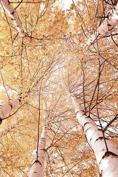 Naturbilder: schöne #Naturbilder #Natur #Birken #Baum #Herbst