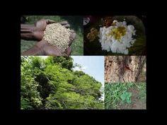 Medicinal Rice B4 Formulations for Malkangni Allergy: Pankaj Oudhia's Me...