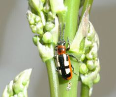 Health Starts in the Kitchen: DIY Asparagus Beetle KILLER!