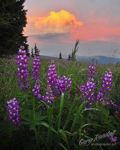 Lovely Lupines by Gary Randall (Mt Hood)