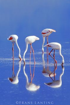 Lesser flamingoes feeding, Phoenicopterus minor, Lake Nakuru National Park, Kenya