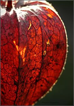 The flower of a Chinese Lantern Plant ,(bot. Chinese Lanterns Plant, Glass Photography, Seed Pods, Patterns In Nature, Fantastic Art, Amazing Nature, Mabon, Beautiful Flowers, Cool Photos