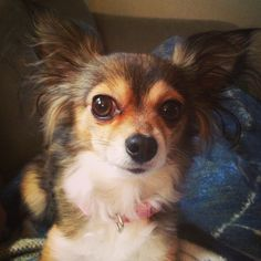 My long haired chihuahua :)