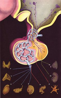 Medical illustration of one of my favorite parts of the body...the Pituitary gland.