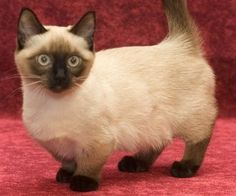 photos of munchin cats | These cats are becoming better known outside the USA, having first ...