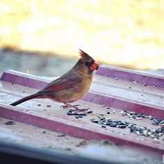 I see tons of cardinals in my yard. All the males are named Cardinal Richelieu, and the females are Lady Richelieu. While the males are striking, there's something equally as striking about cardinal females. They aren't as drab as the other girls, but they still blend into the trees very well.  #appalachia #artlife #backtomyroots #backwaterstills #cardinals #countryliving #farmart #farmhousedecor #farmhousestyle #farmlife #farmhousecottage #femalecardinal #homedecor #lifeinthecountry…