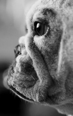 ♥ this face.  Don't understand it, but I am drawn to all flat faced dogs.  Just want to kiss them.