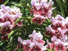 Some 800 to 1,000 species of orchids are found in the Philippines