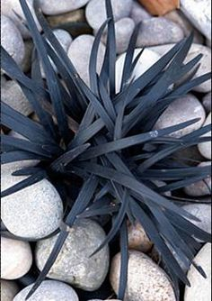 Black Mondo Grass Ophiopogon planiscapus 'Arabicus'-this might be a cool contrast to throw in with the colors for contrast???
