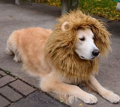 Lion Dog Costume - $24.....for stark and chloe