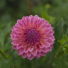 A mauve/pink dahlia with a hint of yellow, this ball-shaped dahlia has pointy florets and is a hit with floral designers. Similar in color and shape to Bracken Rose. Pink Perennials, Cut Flowers, Dahlias, Floral Design, Pride, Bloom, Garden, Pretty, Plants