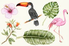 Hand drawn watercolor of fruit(PNG) Flamingo Illustration, Jungle Illustration, Free Vector Illustration, Creative Illustration, Free Illustrations, Exotic Plants, Exotic Birds, Flamingo Vector, Birds Of Paradise Flower