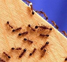 """Put small piles of cornmeal where you see ants. They eat it, take it """"home"""", can't digest it so it kills them. It may take a week or so, especially if it rains , but it works & you don't have the worry about pets or small children being harmed!"""